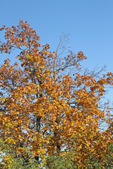 Ahorn in Herbstfarben