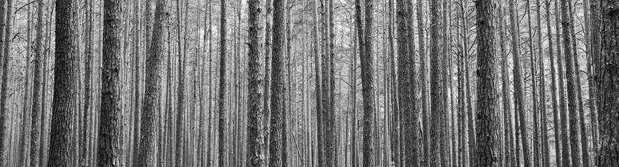Tree trunks in pine forest as beautiful textured black and white panoramic view background.