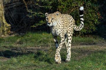 Wall Mural - Cheetah walking in the evening sun