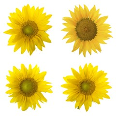 set of sunflowers isolated on white background