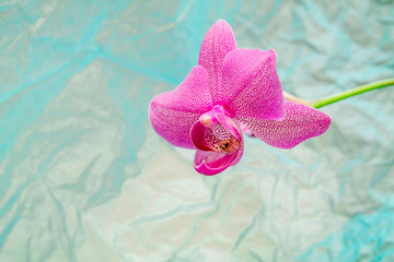 bright pink orchid on the blue rumpled background