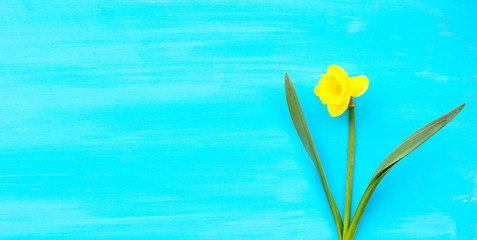 One spring yellow narcissus flower on blue wooden plank with space for text