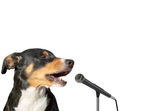 Appenzeller mountain dog isolated on white background singing with microphone