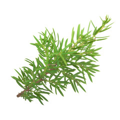 branch of juniper isolated on white background