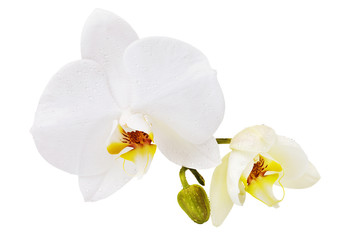Tuinposter Orchidee Beautiful white orchid with dew on the leaves, having a yellow color on the lip. Blooming flowers isolated on background