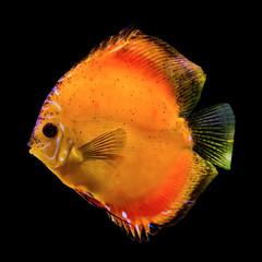 Orange tropical fish from the Amazon River. Symphysodon aegufasciatus. The aquarium fish. Isolated photo on black background.