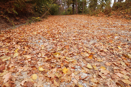 Autmun road with dry leaves in forest