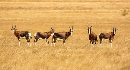 Bontebok Antelope Wall mural