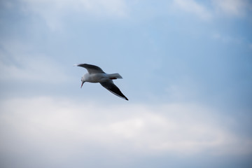 Seagull in flight against a blue sky with white clouds. Water bird flying on the sky of a lake.