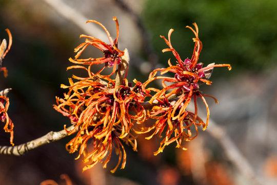 Witch Hazel (Hamamelis) an orange red yellow winter spring flowering shrub