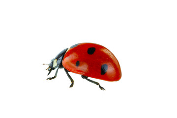 Fototapeta red ladybird isolated on white background obraz