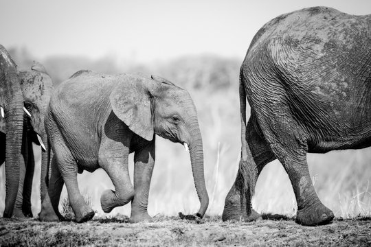An elephant calf, Loxodonta africana, follows behind its mother