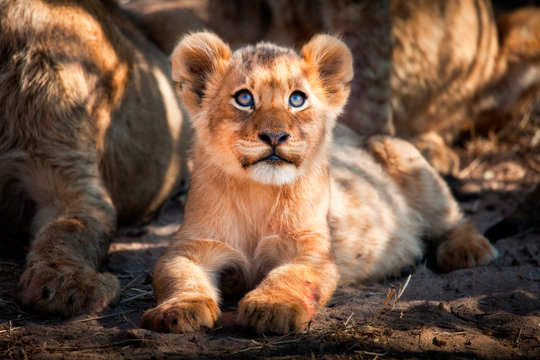 A lion cub, Panthera leo, lies on the ground and looks up out of frame, yellow blue eyes, golden coat.