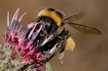 bumblebee with honey on flowers background