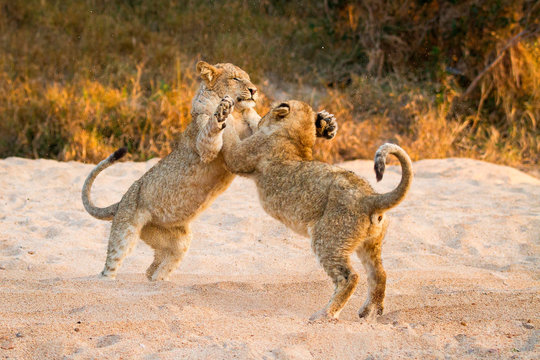 Two lion cubs, Panthera leo, stand on their hind legs in sand while playing, paws in the air, tails up, sand in the air