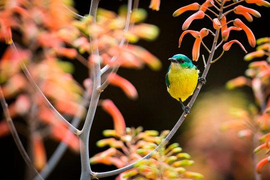 Female collared sunbird, Hedydipna collaris, perches in a candelabra aloe, Aloe arborescens