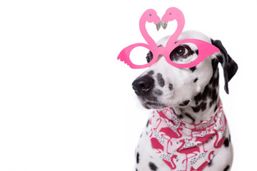 Funny flamingo shape party glasses on a dalmatian dog on isolated background. Pink heart shaped glasses. Happy Valentines day. Copy space