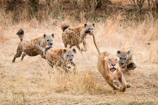 Spotted hyenas chasing lion in Sabi Sands Game Reserve