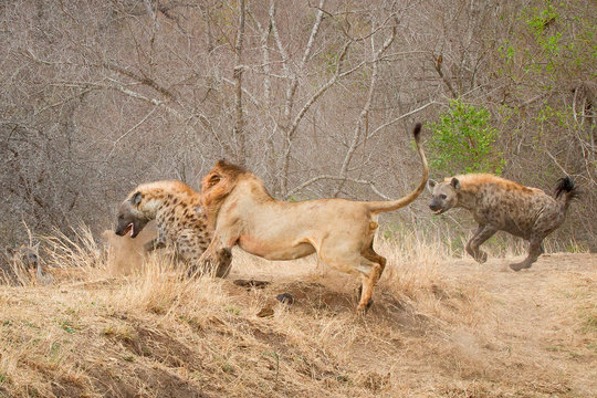 A male lion, Panthera leo, bites a spotted hyena, Crocuta crocuta, bringing it to the ground, a second hyena runs after the lion