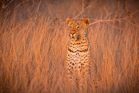 Leopard sitting in tall dry grass