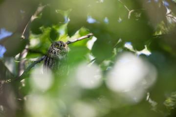 Otus scops. The wild nature of Bulgaria. Free nature. A beautiful picture of nature. Rhodopes. A little bird. Owl on the tree. Mountains in Bulgaria. European wildlife. Madzarovo. River Arda.
