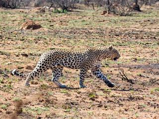 Male Leopard