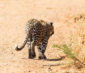 Male Leopard Walking Away
