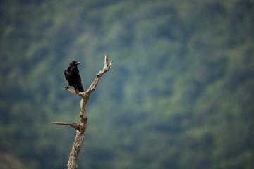 Corvus corax. The wild nature of Bulgaria. Free nature. A beautiful picture of nature. Rhodopes. Mid-sized bird. Mountains in Bulgaria. European wildlife. Madzarovo. River Arda.