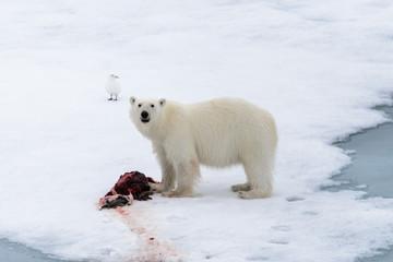 Printed roller blinds Polar bear Polar bear eating seal on pack ice