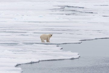 Polar bear (Ursus maritimus) going on the pack ice north of Spitsbergen Island, Svalbard