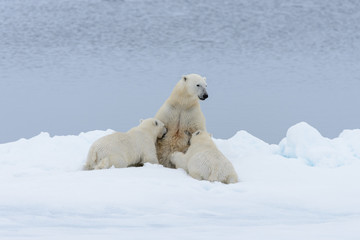 Polar bear mother feeding her cubs on the pack ice, north of Svalbard Arctic Norway