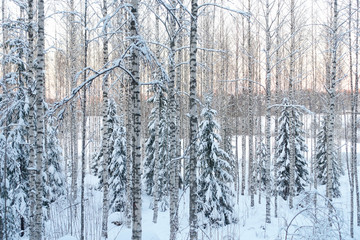 Frozen trees in the finnish forest in the winter. White snow covering the trees. Arctic nature in very cold weather. Hämeenlinna, Finland.