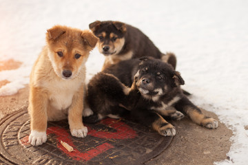 Homeless puppies bask on the manhole in the winter