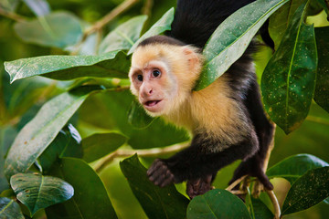 White faced capuchin in national park in Central America
