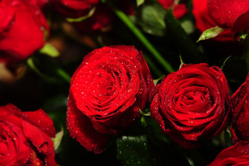 Gorgeous red roses in drops close-up.