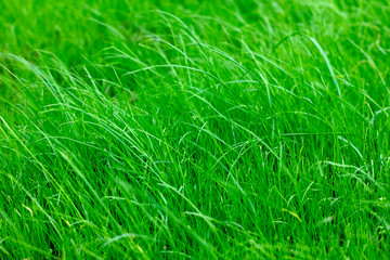 bright green lawn grass close up