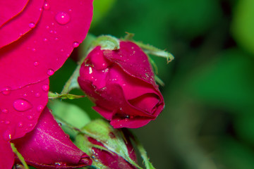 A red rose bud in drops of water