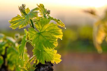 Branche de vigne au printemps gros plan. Lever de soleil. Fototapete