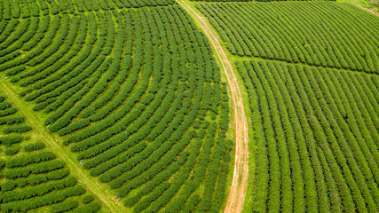 Green tea plantation, Aerial view green tea plantation at North of Thailand.