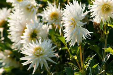 Chrysanthemen blühend
