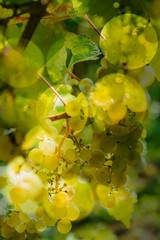 Reife weisse Weintrauben am Weinstock in der Abendsonne