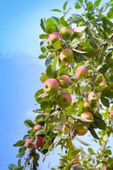 Plenty of red ripe apples growing in the garden