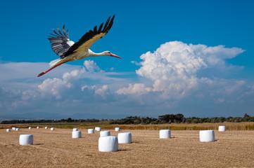 wild stork soars in the blue sky over wheat field