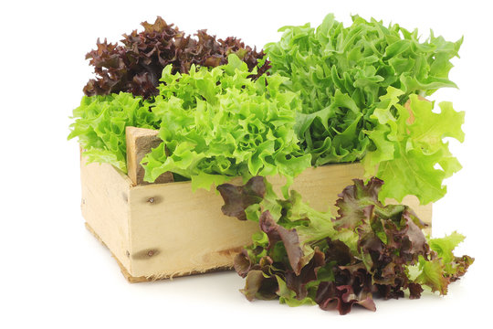 freshly harvested red and green curly  lettuce on a white background