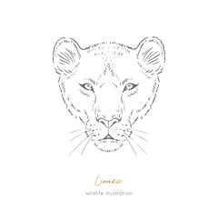 Symmetrical Vector portrait illustration of wild lioness cat. Hand drawn ink realistic sketching isolated on white. Perfect for logo branding t-shirt coloring book design.