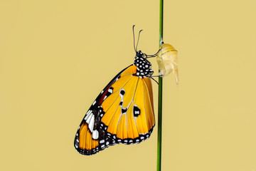 Amazing moment ,Monarch butterfly emerging from its chrysalis