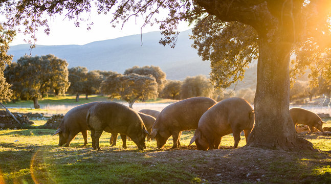 Iberian pigs in the nature eating