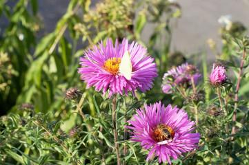 белоснежная бабочка на красивых садовых цветах