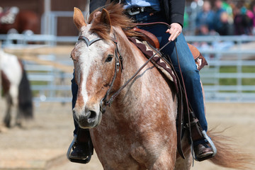 Western horse in close-up on a tournament in a trail and flagrace..