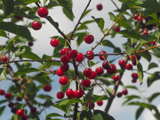 red berries on branch